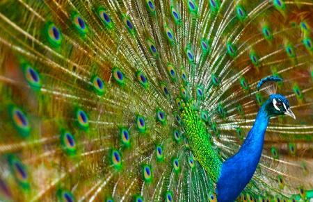 peacock: Peacock Show
