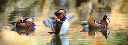 mandarin: Duck Dance
