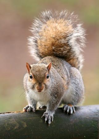 bushy: American grey squirrel, Sciurus carolinensis