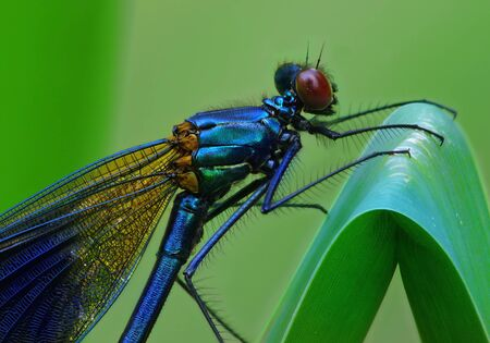 zygoptera: Emerald Damselfly, Calopteryx virgo Stock Photo