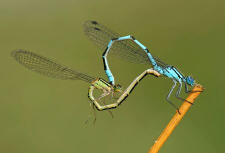 mating colors: Copulating Damselfly Couple  Stock Photo