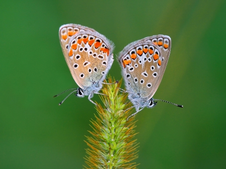 mating colors: Couple of Lycaenid butterflies on an ear