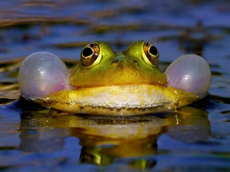 Croaking Bubble Frog