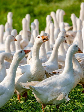 Group of geese with a rebel inside