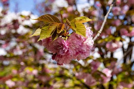 A Cherry flower in the Japanese garden inside the Botanical Garden of Rome, Italy Stock Photo