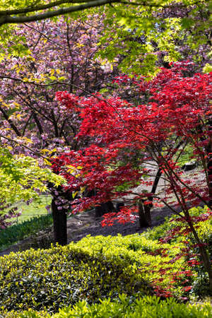 Red and green Maple with some Cherry trees in the Japanese garden inside the Botanical Garden of Rome, Italy Stock Photo