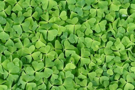 lucky charm: field of lots of green clover