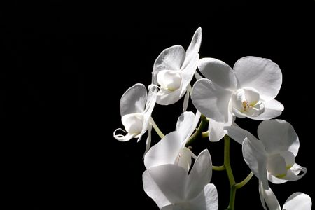 white orchid with black background