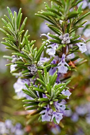 herbage: herb plant rosemary in natural environment Stock Photo