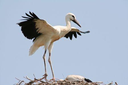 wild jung stork in estonia