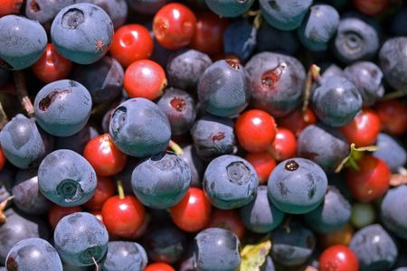 red cowberries and blue blueberries picked in the wood