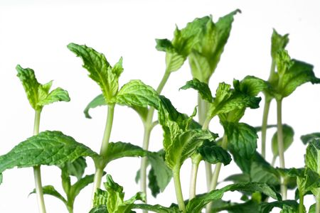 peppermint plant with white background Stock Photo - 8120088