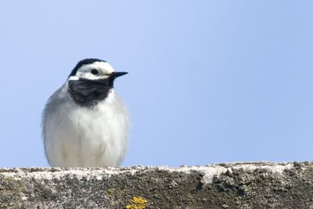 wagtail: Motacilla in ambiente naturale