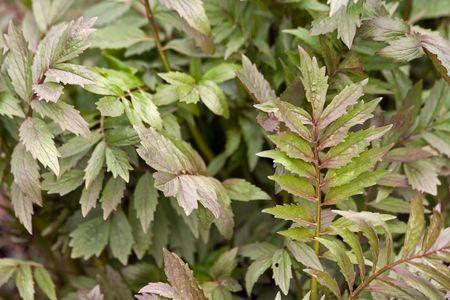 valerian: pianta di erbe Valeriana in ambiente naturale