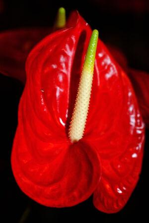 arum: plant, red Arum