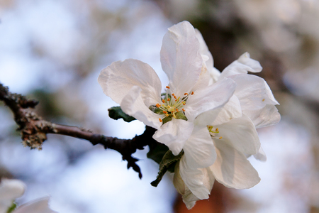 apple blossom of an old apple sort