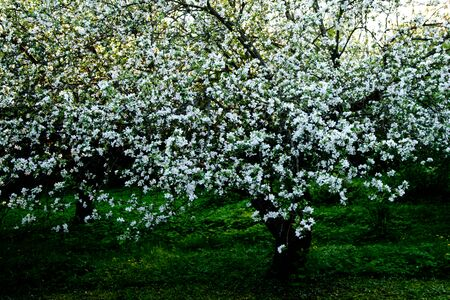 Old appletree with apple blossom of an old apple sort