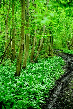 original green forest with wild garlic in spring in Estonia, Europe Standard-Bild