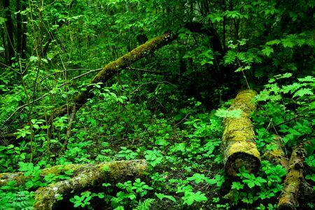 original green forest in spring in Estonia, Europe
