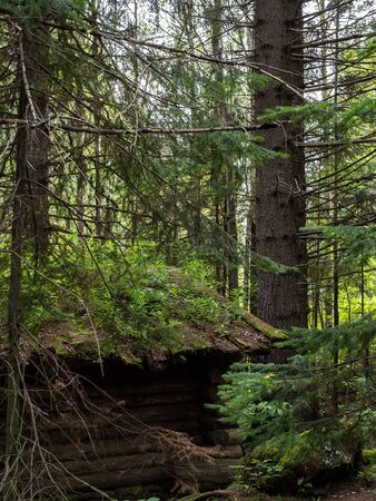 Old desolate hunting hut in summer spruce forest Stock Photo