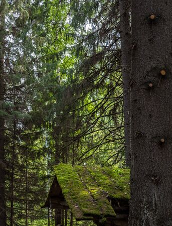 Spruces trunks and roof of old desolate hunting hut in summer forest Stock Photo