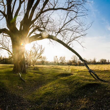 Old branchy willow on green meadow in sun rays