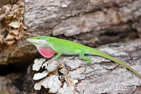 Male lizard in mating season