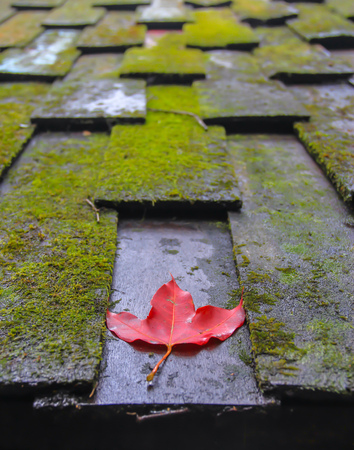 a red maple leaf on the wooden shingles roof coverd in moss