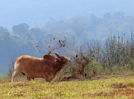 The Angry Brown Cow Butting The Ground on The Moutain Stock Photo