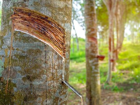 Nahaufnahme Gummibäume und Schüssel milchigen Latex. Quelle von Naturkautschuk. Gewindeschneiden von Latex aus Gummibaum.