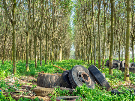 Old tires in rubber tree forest. Row of Rubber trees and bowl milky latex. Source of natural rubber.