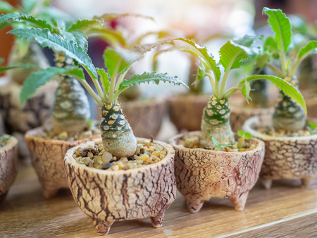 Small green plant in ceramic pots on wooden table.