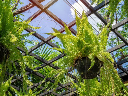 green fern plant in black pots hanging in greenhouse on blue sky background.