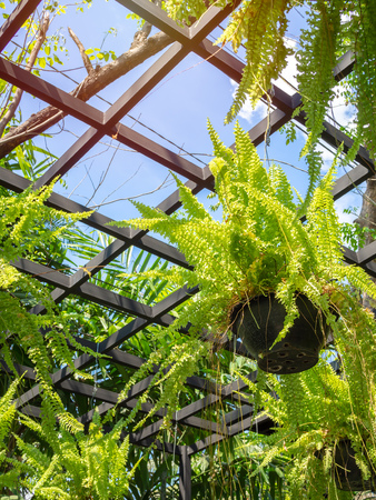 green fern plant in black pots hanging in greenhouse on blue sky background vertical style.