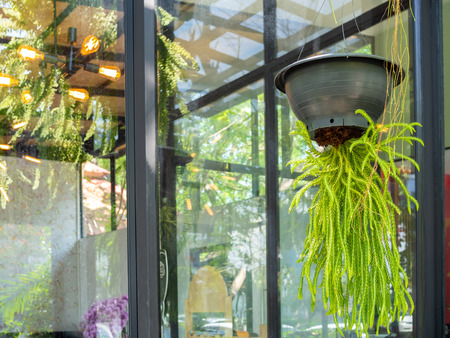 Green beautiful plant hanging from the black pot decoration in restaurant on window glass background.