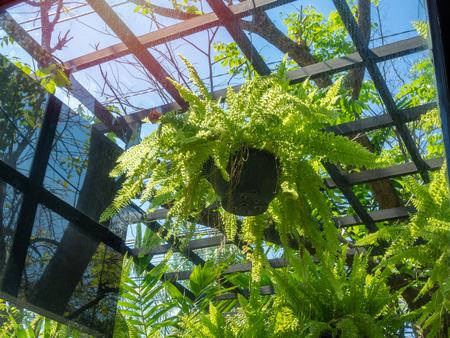 Green fern plant in black pots hanging in greenhouse on blue sky background. 版權商用圖片