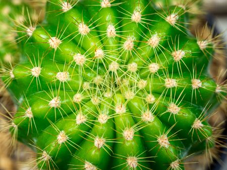 Green cactus. Abstract nature pattern. Close-up thorns on cactus plant top view. Stock Photo