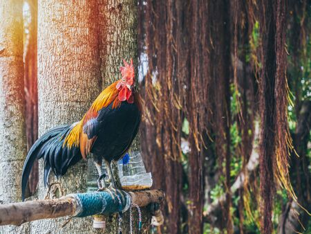 Rooster standing on the tree on nature background in the morning.