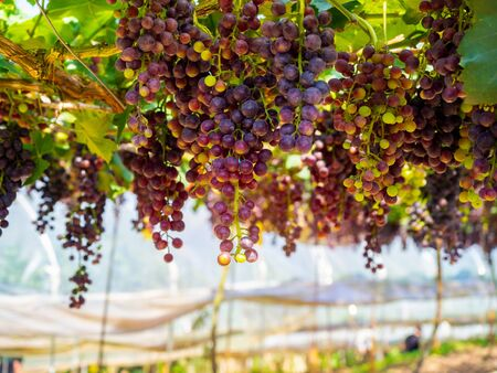 Fresh grapes in the vineyard ready to be harvest. Dark blue bunch grapes with green leaves hung in grape farm.