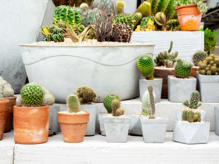Green cactus in pot. Various cactus in terracotta pots and many size of concrete planters on cement. Foto de archivo