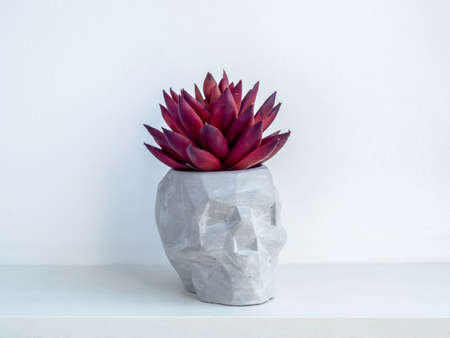 Small modern DIY cement planter, skull shape trendy decoration. Concrete plant pot with red succulent plant on white wooden shelf isolated on white wall background.