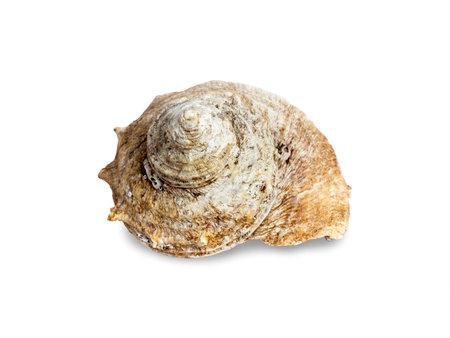 Seashell isolated on white background. Beautiful natural shape of sea shell. Stockfoto