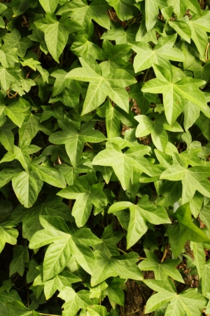 species of creeper: English Ivy Growing On A Wall Stock Photo