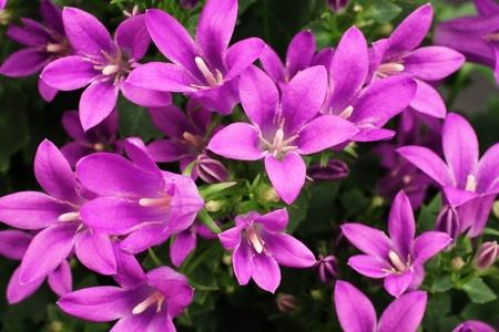 Close Up Purple Flowers