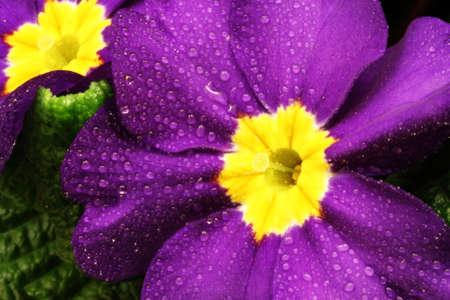 Purple Primrose Close Up Stok Fotoğraf