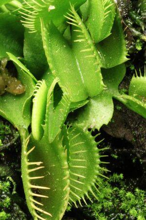 Venus Fly Trap Close Up