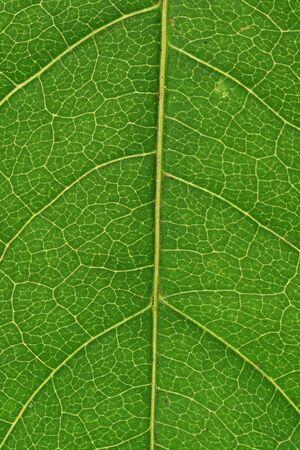 Green leaf vascualr system