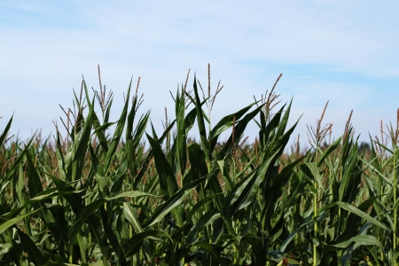 genetically modified crops: Corn field ready for harvest Stock Photo