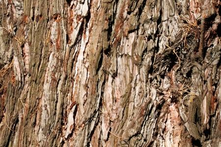 Cedar Bark Textured Background