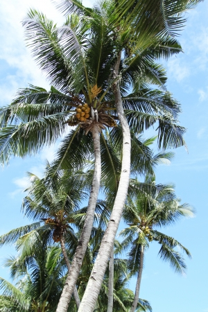 Asian Coconut Palm Trees photo